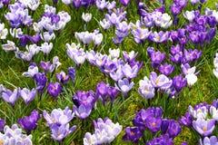 Kleurrijke krokus royalty-vrije stock foto's