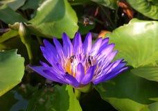 Kleurrijke lotusbloem met arbeidersbijen Stock Foto's