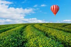 Kleurrijke luchtballonnen die over het landschap van de theeaanplanting vliegen Stock Afbeelding
