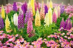 Kleurrijke Lupines royalty-vrije stock fotografie