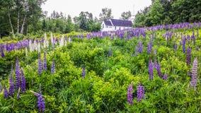 Kleurrijke Lupines in New Hampshire Stock Foto
