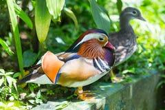 Kleurrijke mandarin eend Mandarin de Eend is één van de mooiste vogels van onze planeet natuurlijk, spreken wij over Drake stock afbeelding