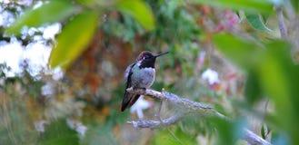 Kleurrijke Mannelijke Anna Hummingbird Attracting Its Mate stock afbeelding