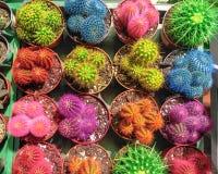 Kleurrijke minicactus in potten Kleine multicolored cactussen in bloempotten Succulents voor huis en tuindecoratie stock foto