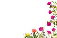 Kleurrijke Moss Rose-bloem stock afbeeldingen
