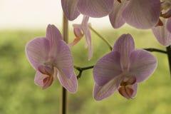 Kleurrijke mottenorchideeën in bloem stock afbeeldingen