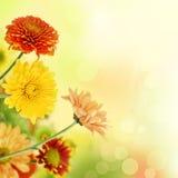 Kleurrijke mumsbloemen op warme bokehachtergrond stock afbeeldingen