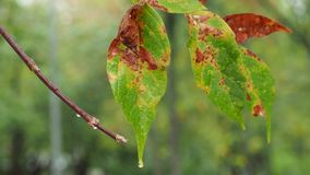 Kleurrijke natte bladeren van de boom van de esdoornas in regen stock video