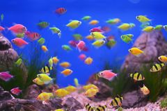 Kleurrijke onderwaterwereld, aquariumvissen stock afbeelding