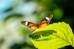 Kleurrijke oranje en zwarte vlinder Stock Foto's