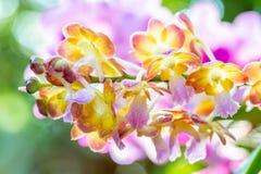 Kleurrijke orchideeën, naam: De zonsondergang van Rhynchoridesbangkok Royalty-vrije Stock Fotografie