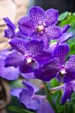 Kleurrijke Orchideeën van India Royalty-vrije Stock Fotografie