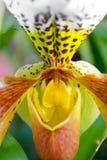 Kleurrijke Orchideeën van India Stock Afbeeldingen