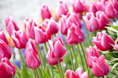 Kleurrijke overzees van mooie tulpen Stock Afbeeldingen