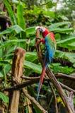Kleurrijke paarara's op logboek, kleurrijk in Aard Royalty-vrije Stock Foto's