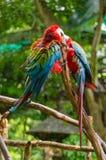 Kleurrijke paarara's op logboek, kleurrijk in Aard Stock Foto's