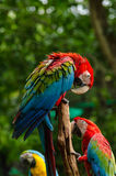 Kleurrijke paarara's op logboek, kleurrijk in Aard Royalty-vrije Stock Fotografie