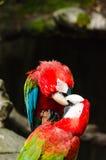 Kleurrijke paarara's op logboek, kleurrijk in Aard Stock Fotografie