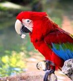 Kleurrijke Papegaai. Royalty-vrije Stock Afbeelding