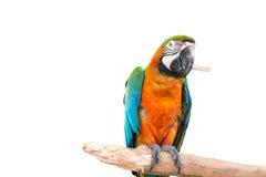 kleurrijke papegaai die zich op een tak bevinden royalty-vrije stock afbeeldingen