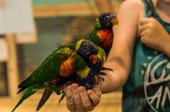 Kleurrijke papegaaien op hand die voedsel nemen Royalty-vrije Stock Foto's