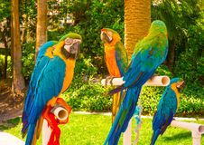 Kleurrijke papegaaienara's die op toppositie zitten royalty-vrije stock fotografie