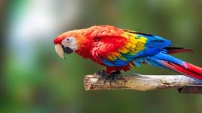 Kleurrijke Papegaaienvogel op aardachtergrond Rode en blauwe Marcaw op de takken stock afbeeldingen