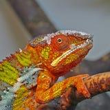 Kleurrijke pardalis van Furcifer van het Panterkameleon sluiten omhoog stock fotografie
