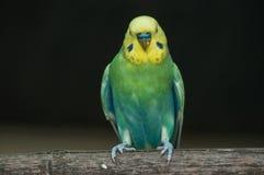 kleurrijke parkiet op een toppositie stock foto