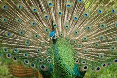 Kleurrijke pauw Royalty-vrije Stock Afbeelding