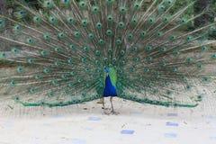 Kleurrijke pauw Royalty-vrije Stock Foto's