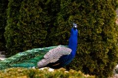 Kleurrijke Pauw Stock Foto's