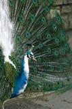 Kleurrijke pauw die zich met aardige open staart bevinden Stock Foto's