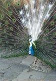 Kleurrijke pauw die zich met aardige open staart bevinden Royalty-vrije Stock Foto's