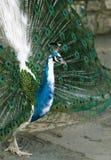 Kleurrijke pauw die zich met open staart bevinden Stock Foto