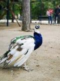 Kleurrijke Pauw in het park stock afbeeldingen