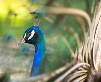 Kleurrijke Pauw in Volledige Veer. Royalty-vrije Stock Afbeelding