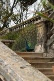 Kleurrijke pauwen in een tuin Royalty-vrije Stock Afbeelding
