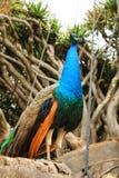 Kleurrijke pauwen in een tuin Stock Fotografie