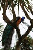 Kleurrijke pauwen in een tuin Royalty-vrije Stock Foto's