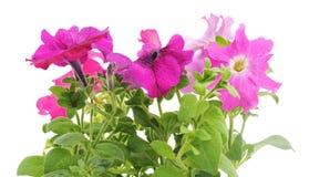 Kleurrijke petunia Royalty-vrije Stock Afbeeldingen