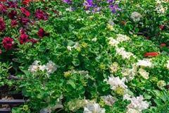 Kleurrijke petuniabloemen op straatmarkt voor verkoop royalty-vrije stock fotografie