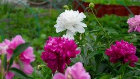 Kleurrijke pioenbloemen stock footage