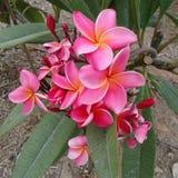 Kleurrijke plumeriabloemen in gebladerte Stock Foto's