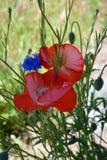 Kleurrijke Poppy Flowers in Bloei Stock Afbeelding