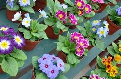 Kleurrijke potten van sleutelbloemen Stock Fotografie