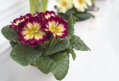 Kleurrijke primerose in witte pot op vensterbank royalty-vrije stock fotografie