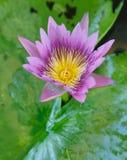Kleurrijke Purpere lotusbloembloem in vijver Royalty-vrije Stock Fotografie