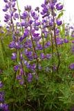 Kleurrijke purpere lupine Stock Fotografie
