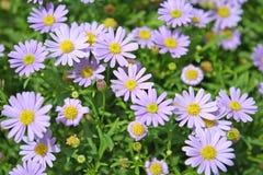 Kleurrijke purpere madeliefjesachtergrond stock foto's